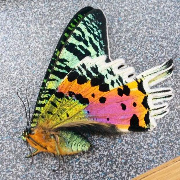 madagascan-sunset-moth-anthony-caravaggi.jpg