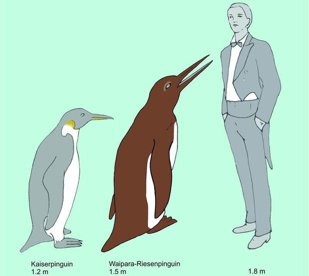waipara-emperor-penguin-comparison.jpg