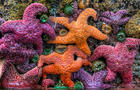 colorful-starfish-green-sea-anemones-marcy-starnes.jpg