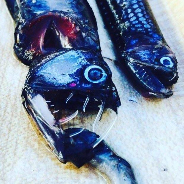 allison-lee-viper-fish.jpg