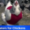 sweater-chickens.png