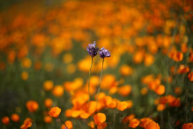 Diamond valley lake in california super bloom spectacular spring diamond valley lake in california super bloom spectacular spring flowers of 2017 pictures cbs news mightylinksfo