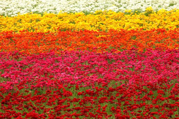 Carlsbad california super bloom spectacular spring flowers of carlsbad california super bloom spectacular spring flowers of 2017 pictures cbs news mightylinksfo
