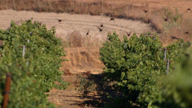 starlings-at-vineyard-620.jpg