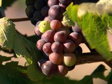 vineyard-grapes-at-rams-gate-winery-promo.jpg