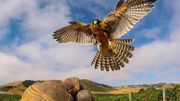 falcon-at-work-california-vineyard-620.jpg