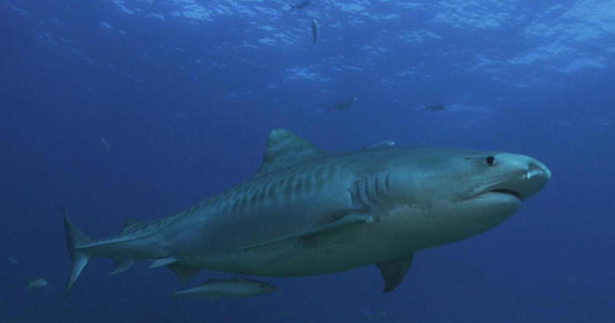 cbsnews.com - Nature: Sharks