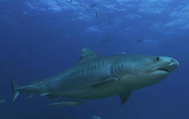 Nature: Sharks