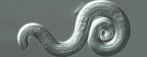 rat-lungworm-parasite.png
