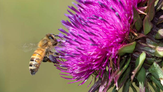 bee-collecting-pollen-from-a-thistle-verne-lehmberg-620.jpg