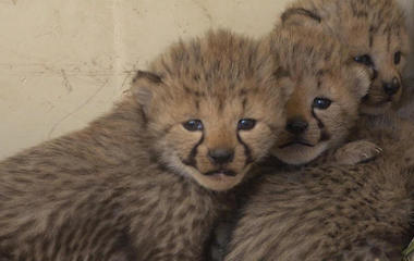 Large litter of cheetah cubs a victory for vulnerable population
