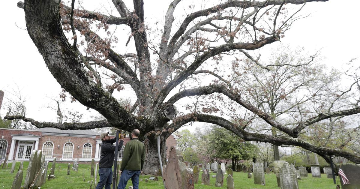 crews start taking down beloved 600-year-old white oak tree