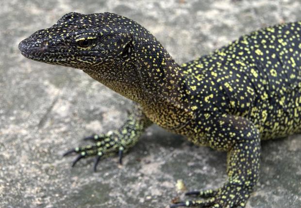 lizard1.png