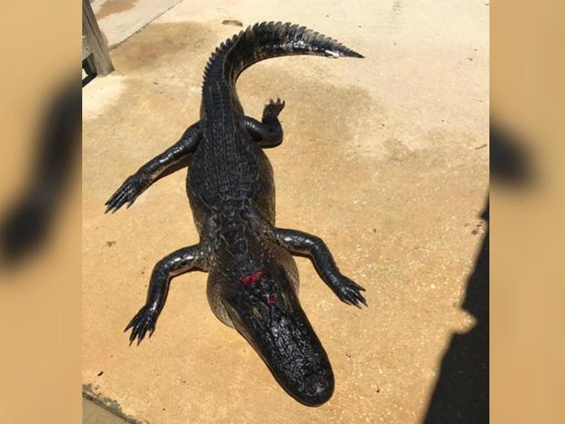 170508-gator-bites-girl-florida.jpg