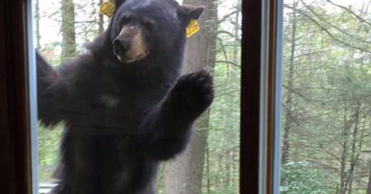 Persistent Bear Tries To Enter Woman S Home After Smelling