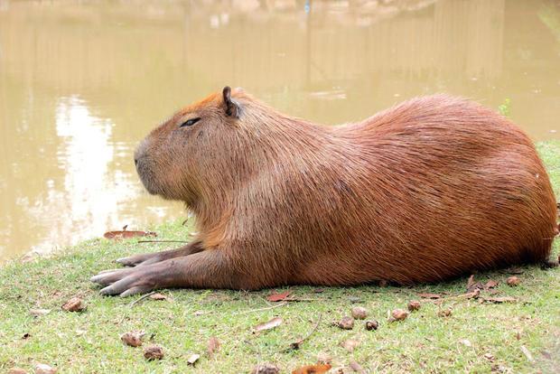 capybara-shutterstock.jpg