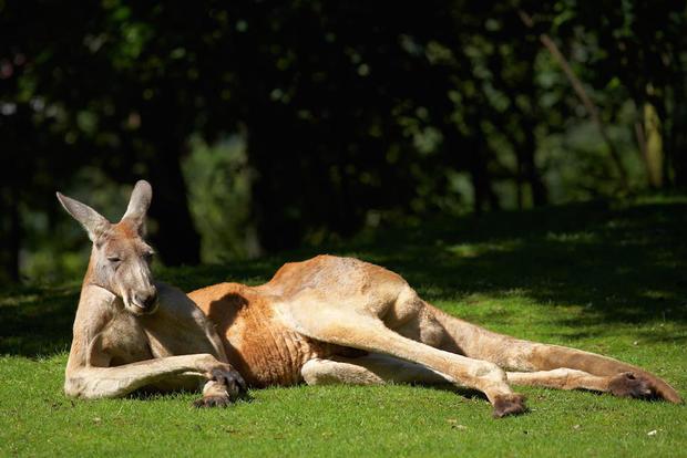 red-kangaroo-shutterstock.jpg