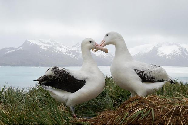 wandering-albatross-shutterstock.jpg