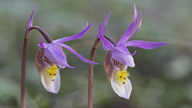 calypso-orchids-verne-lehmberg-620.jpg