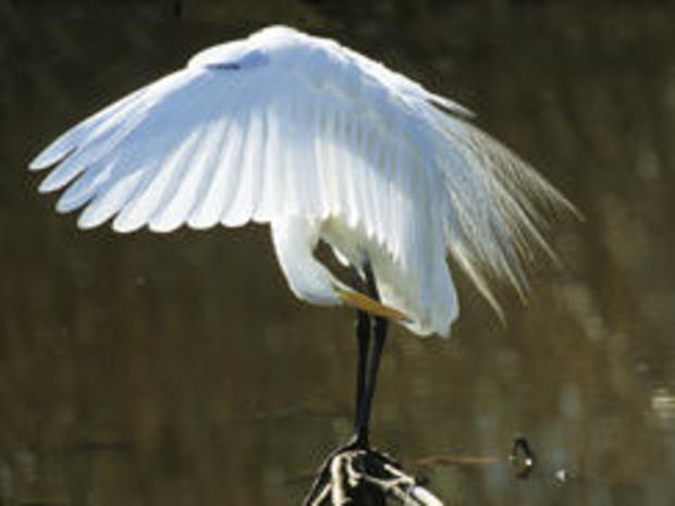 great-egret-wings-spread-verne-lehmberg-244.jpg