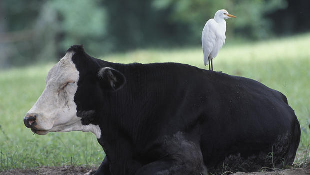 cattle-egret-on-cow-verne-lehmberg-620.jpg