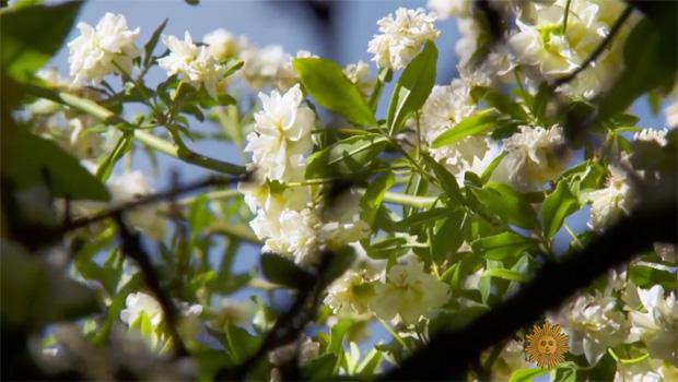 shady-lady-rose-bush-closeup-620.jpg