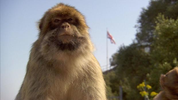 gibraltar-monkey-iwth-flag-in-bg-2.jpg