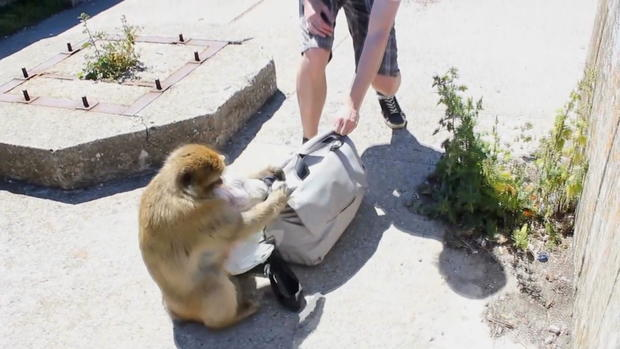 monkey-stealing-backpack.jpg