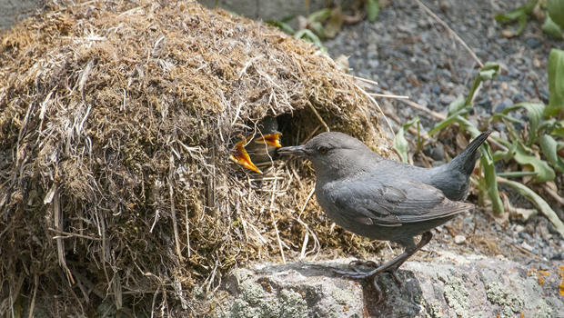 dipper-at-nest-with-chicks-620.jpg