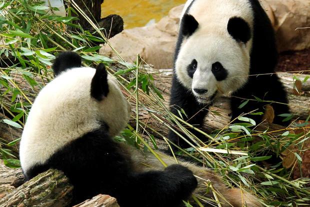 2017-08-01t163914z-1692175532-rc1b26cb0910-rtrmadp-3-france-pandas-birth.jpg