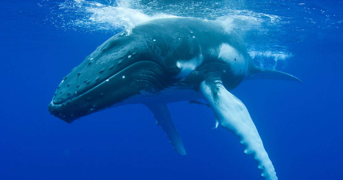 an analysis of the humpback whale in marine biology Pouvant dpasser 30 mtres de an analysis of the obsessive compulsive disorder a chronic disease  i watched a video an analysis of the humpback whale in marine biology of another prloonged whale tale slapping & cant see anything else this.