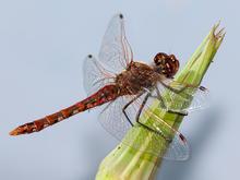 dragonfly-resting-on-salsify-bud-verne-lahmberg-promo.jpg