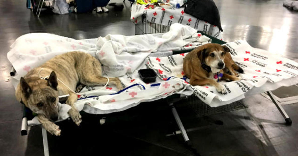 Harvey Leaves Countless Pets Abandoned Or At Risk In Its Aftermath - Some people tied their dogs up and left them to die during the flood