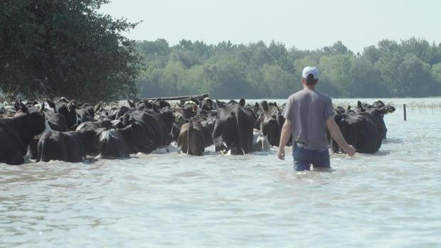 herding-cows.jpg