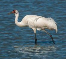 whooping-crane-walking-244-verne-lehmberg.jpg