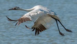 whooping-crane-flying-verne-lehmberg-promo.jpg