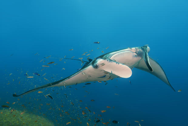 Giant Oceanic Manta Rays In The Maldives