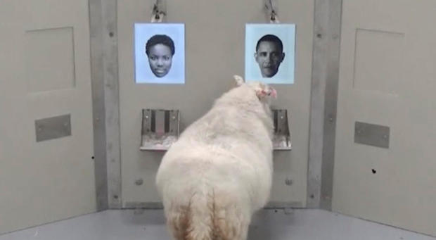 A picture taken from undated video shows a sheep approaching a photo of Barack Obama during a Cambridge University experiment, in Cambridge
