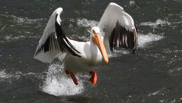 white-pelican-coming-in-for-a-landing-sherri-obrien-620.jpg