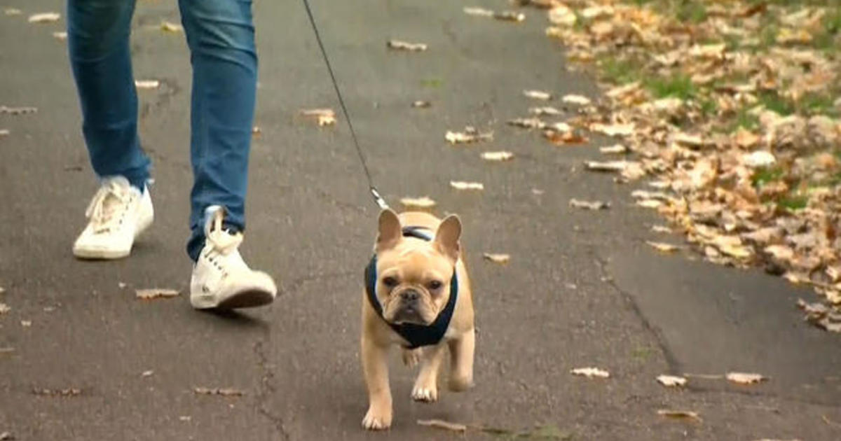 French Bulldogs Are Being Abandoned Due To High Medical