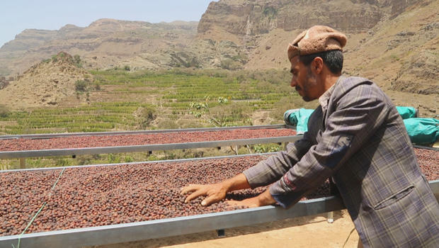 yemen-coffee-coffee-drying-bed-620.jpg