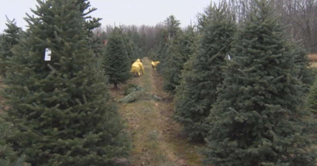 Christmas tree shortage could drive up prices - CBS News