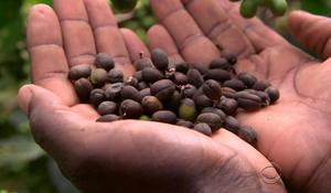 Endangered coffee crops in Uganda threaten families' livelihood