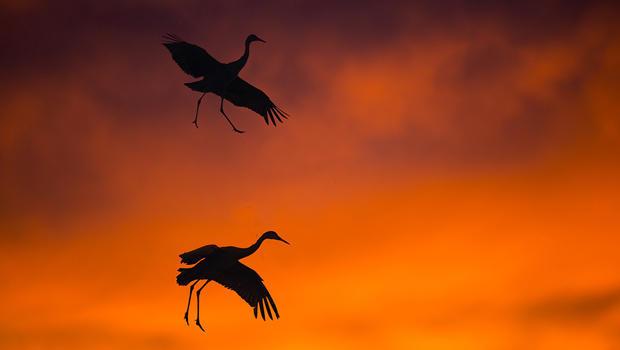 sandhill-cranes-coming-in-for-an-evening-landing-verne-lehmberg-620.jpg