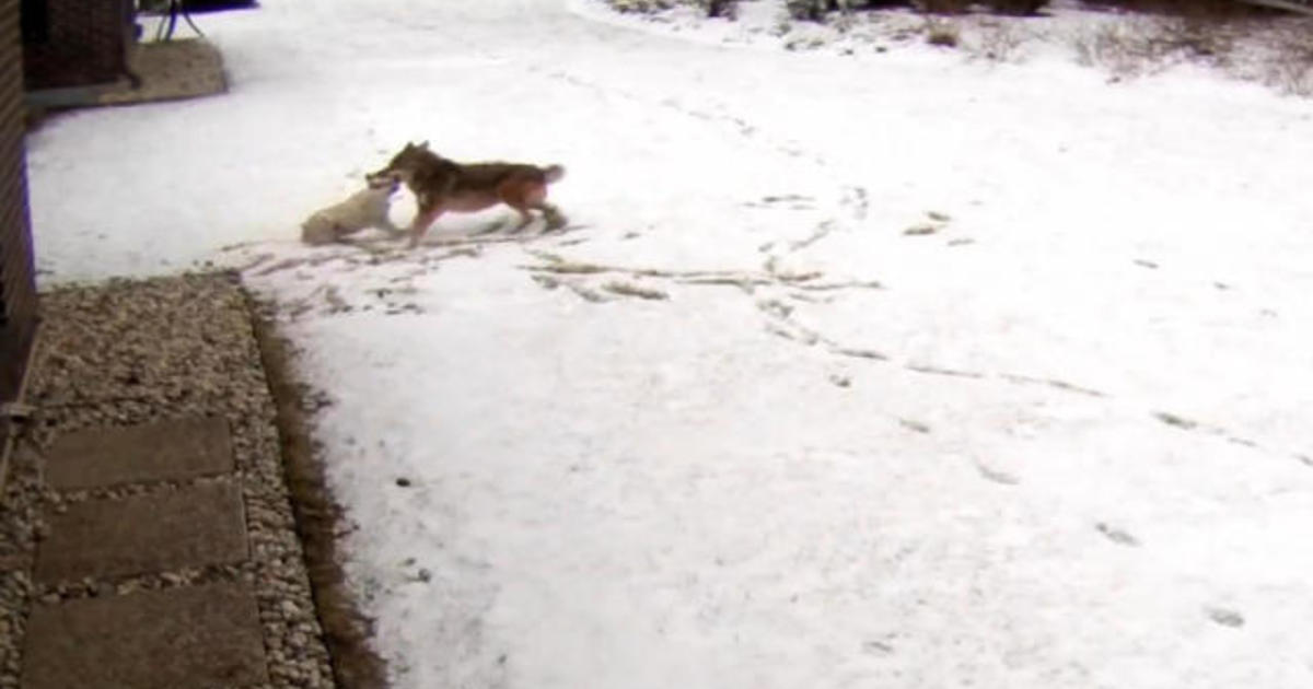 Coyote Attacks Family S Dog In Illinois Cbs News