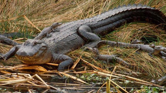 alligator-lying-in-wait-620.jpg