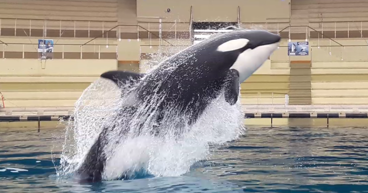 Killer Whale Wikie Is First Orca To Mimic Human Words As Researchers