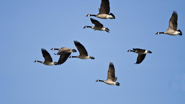 Dead Goose Falls from Sky, Sends Hunter to Hospital