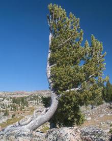 krumholtz-whitebark-beartooth-pass-verne-lehmberg-244.jpg