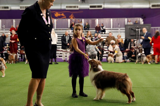 Handler Addison Lancaster has her Miniature American Shepherd Pyro judged during Day One of competition at the Westminster Kennel Club 142nd Annual Dog Show in New York